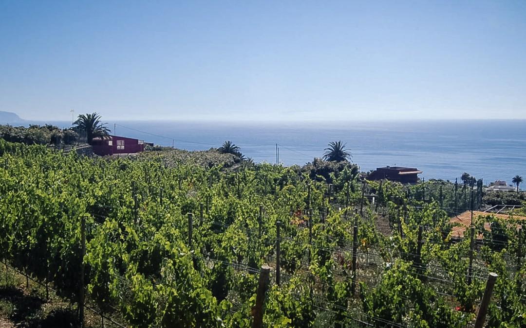 Tacoronte, sitio preferente para el cultivo de la viña