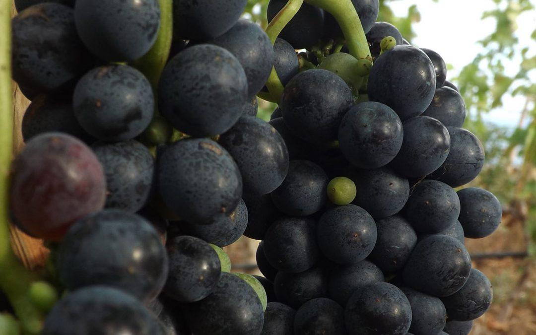 Despalillado y estrujado de la uva para el tinto 2016